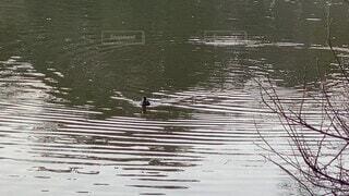 自然,動物,鳥,屋外,湖,水面,スワン,鴨,ガチョウ