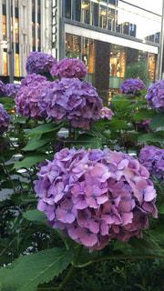 傘,紫,紫陽花,梅雨