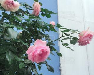 薔薇とブルーの壁の写真・画像素材[1404208]