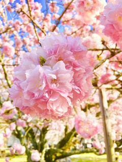 桜,ピンク,花びら,桃色,pink