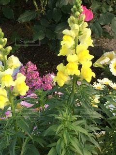 黄色の写真・画像素材[604770]