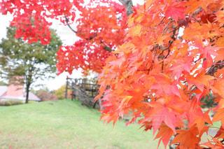 秋,紅葉,屋外,赤,牧場,樹木,秋空