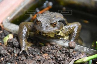 近くにカエルのアップの写真・画像素材[735218]