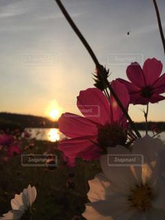 ピンクと白のコスモスの写真・画像素材[777279]