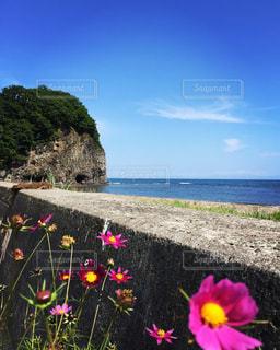 二つ岩とコスモスの花の写真・画像素材[1104213]