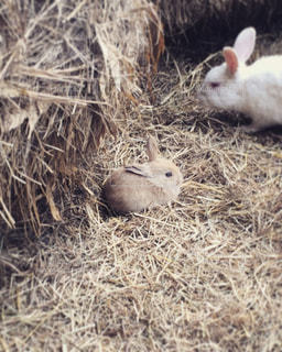 干し草の上に座って休む子ウサギの写真・画像素材[1204443]