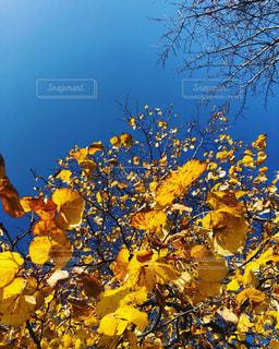 青空に黄色い葉の写真・画像素材[1621094]