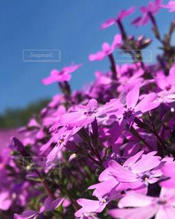 ピンク色の花のクローズアップの写真・画像素材[2273566]