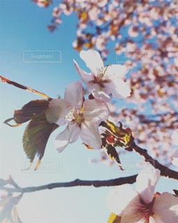花,春,桜,木,北海道,花見,お花見,イベント,5月,ブロッサム
