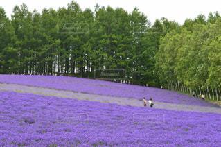 ラベンダー畑での写真・画像素材[903768]