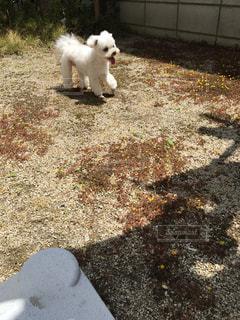 草の中の小さな白い犬立っての写真・画像素材[1187507]