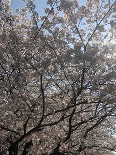 花,桜,東京