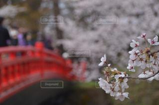 弘前城の桜の写真・画像素材[1841887]