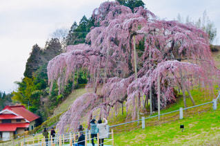 三春の滝桜の写真・画像素材[1843813]