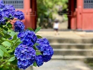 紫陽花と遠くに娘の写真・画像素材[3377335]