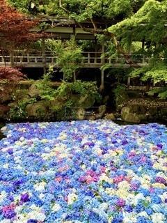 紫陽花のプールの写真・画像素材[3393680]