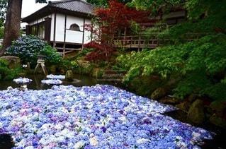 紫陽花の写真・画像素材[3450950]