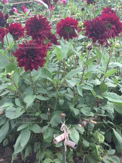 緑の葉と赤い花の写真・画像素材[791910]