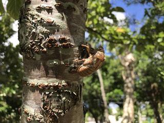 自然,夏,南国,沖縄,虫取り,セミ,抜け殻,羽化,幼虫,yuntaway,ユンタウェイ