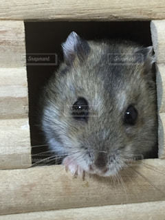 木製の表面の小さな齧歯動物の写真・画像素材[736551]