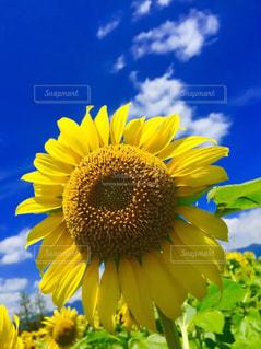 黄色の花の写真・画像素材[1197551]