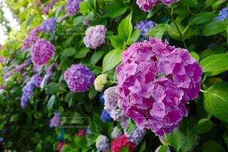京都,紫陽花,一眼レフ,三室戸寺