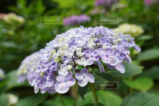 近くに紫の花のアップの写真・画像素材[1216467]