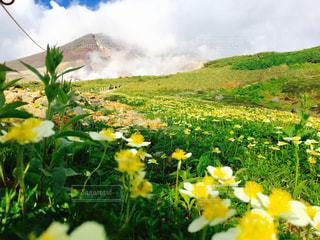 フィールド内の黄色の花の写真・画像素材[879901]
