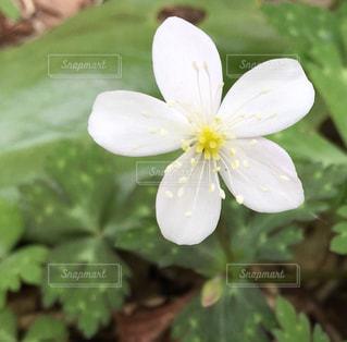 可憐な小さい白い花の写真・画像素材[925490]