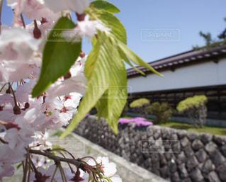 藩校日新館の桜の写真・画像素材[1019880]