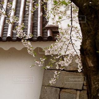 鶴ヶ城のさくらの写真・画像素材[1033481]