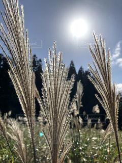 風景,空,秋,日光,ススキ,陽光,陽射し,秋空