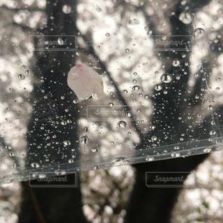 春,桜,木,雨,水,水滴,花びら,水玉,通勤,雫,しずく,ビニール傘