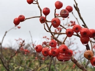 冬,赤,枯れ葉,茶色,水滴,枯れ木,木の実,水玉,寒い,雨上がり,しずく,晩秋,月山,山形県,秋色,木の枝,冷たい風,冬の入り口