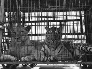 輸送中の哀愁漂うライオン&鋭い目線のトラ。の写真・画像素材[838523]