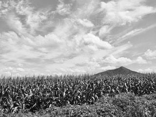 とうもろこし畑で撮った1枚♪の写真・画像素材[853236]