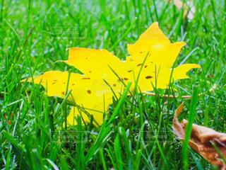 黄色に色づいた枯れ葉♪の写真・画像素材[877292]