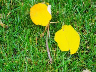 黄色に色づいた枯れ葉2枚♪の写真・画像素材[877293]