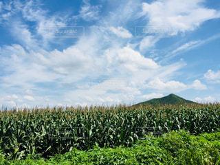 一面に広がるとうもろこし畑♪の写真・画像素材[966660]