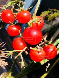 バルコニーで育てているミニトマト♪の写真・画像素材[971333]