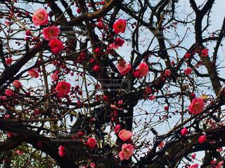 花,木,屋外,ピンク,梅,樹木