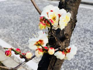 休日の散歩中に撮った梅の花♪の写真・画像素材[992194]