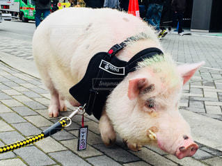 「とんかつ」の札を下げている豚♪の写真・画像素材[1006476]