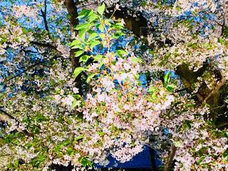 弘前桜祭りの夜桜♪の写真・画像素材[1017317]
