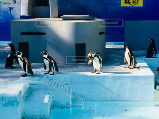 野毛山動物園。並んでいるように見えるペンギン達♪の写真・画像素材[1017995]