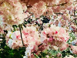 青森 弘前の桜祭り。満開の桜♪の写真・画像素材[1018828]