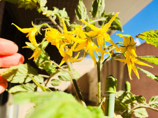 元気に咲いたミニトマトの花たち♪の写真・画像素材[1019311]