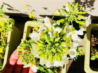 バルコニーで育てている野菜の花♪の写真・画像素材[1035635]