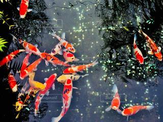 池で泳いでいる鯉達♪の写真・画像素材[1075053]