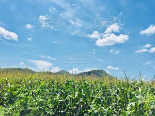 青空&とうもろこし畑♪の写真・画像素材[1101912]